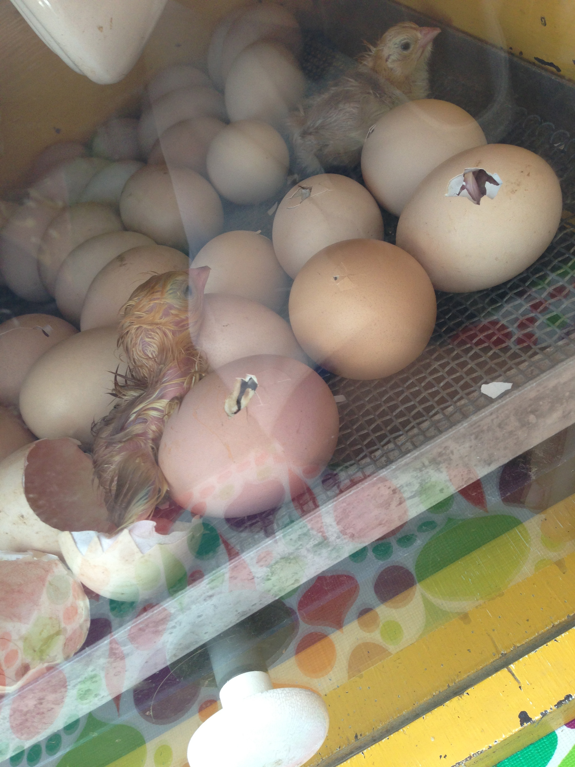 Life Begins : Watching Chicks Hatch From Eggs