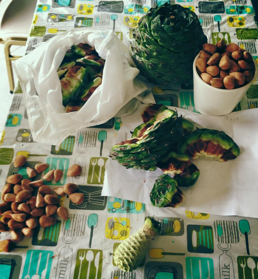 Bush Tucker : Sampling the Bunya Nut