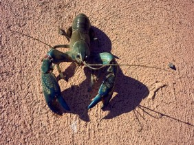 Yabby Fishing : A Short Tutorial On How To Catch a Big One