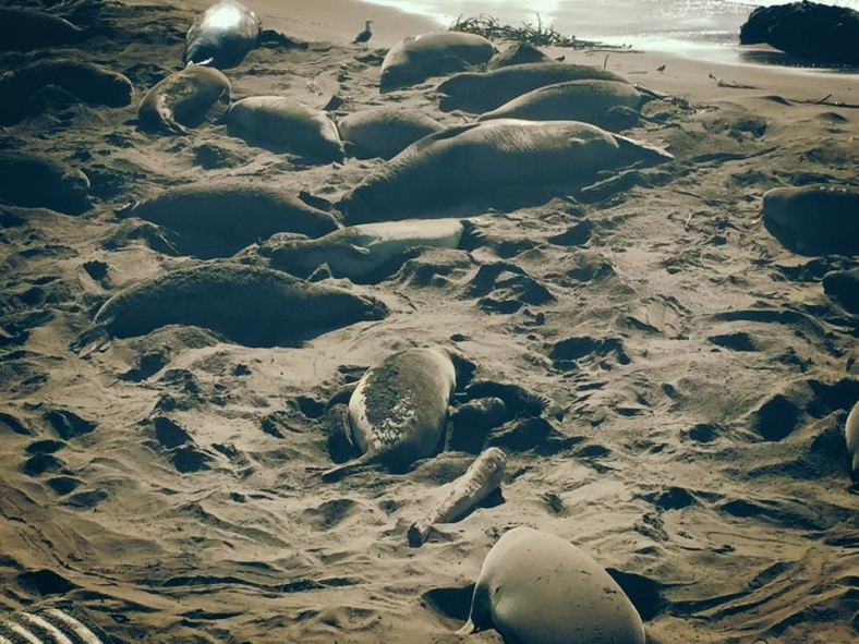 A Chance Encounter with Northern Elephant Seals at Piedras Blancas Beach, California