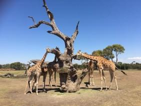 Werribee Open Range Zoo : An African Safari Adventure in Australia
