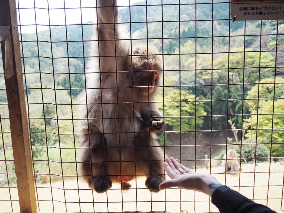 Visiting Iwatayama Monkey Park in Arashiyama Kyoto