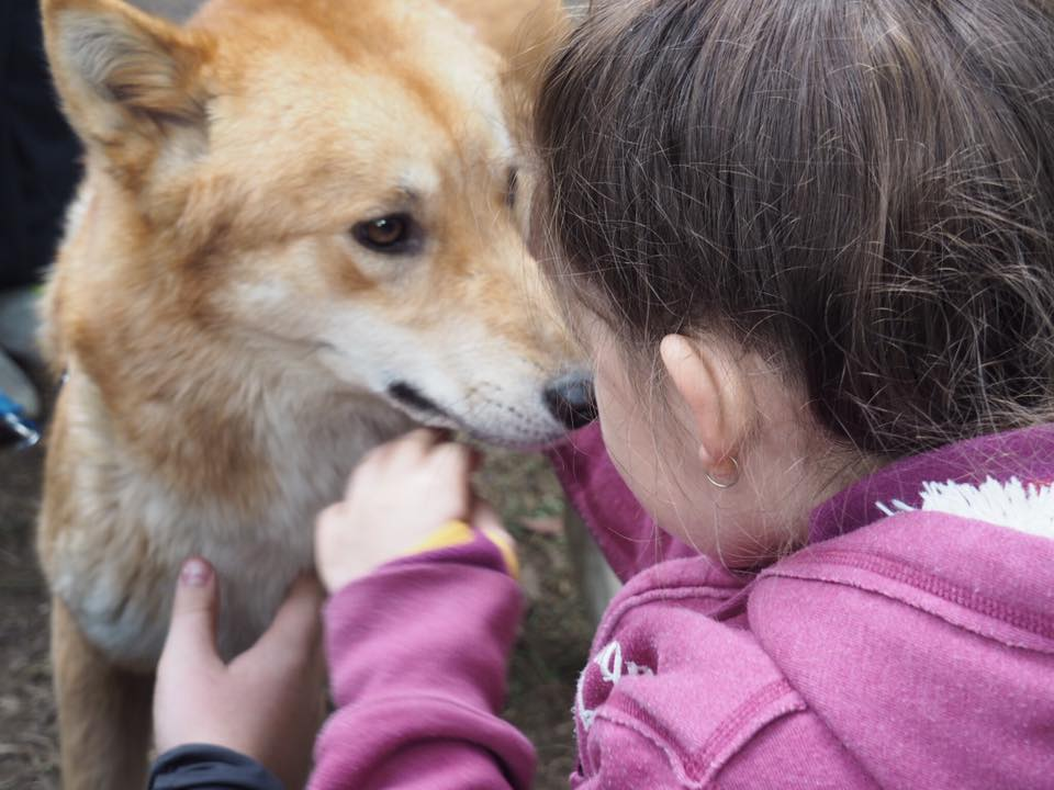 Sydney Animal Encounters Dingo Experience